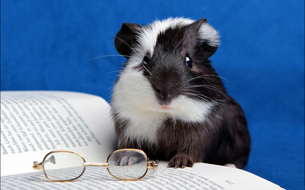 A scholarly guinea pig...